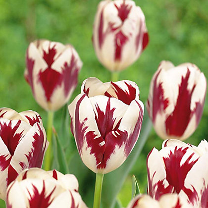 Image for Multicoloured Tulips Grand Perfection from StoreName