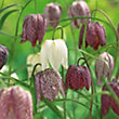 Multicoloured Fritillaria meleagris