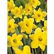 Daffodil Golden Harvest Yellow