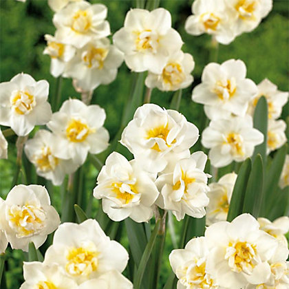 Image for White Daffodil Cheerfulness from StoreName