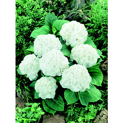 Image for hydrangea snowball 23cm from storename for Garden trees homebase
