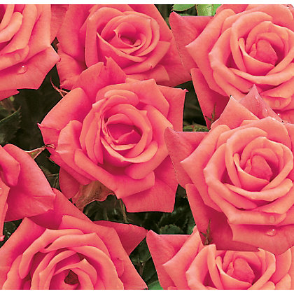 Image for Flower Power Patio Standard Rose from StoreName