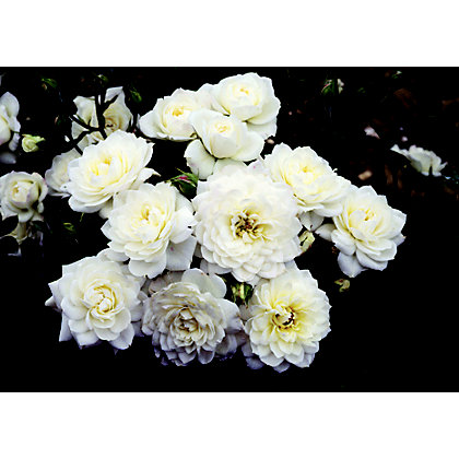 Image for Snow Cap Patio Rose Standard from StoreName