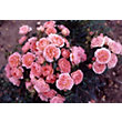 Sweet Wonder Patio Rose Standard