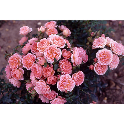 Image for Sweet Wonder Patio Rose Standard from StoreName
