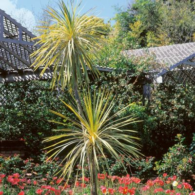 Homebase cordyline variegata customer reviews product for Garden trees homebase