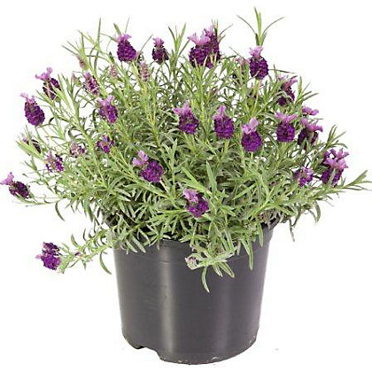 Image for French Lavender - 2L from StoreName