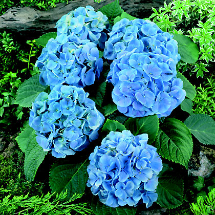 Image for Mophead Hydrangea Elbtal from StoreName