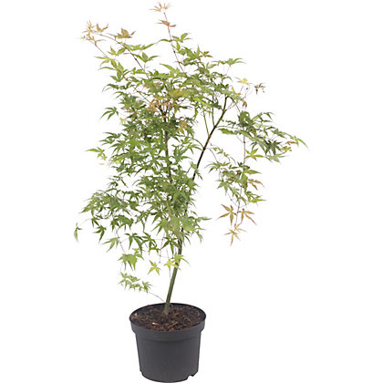 Image for Japanese Maple Phoenix from StoreName
