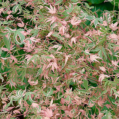 Image for Japanese Maple Taylor from StoreName
