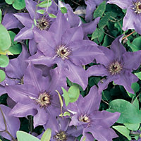 Large Flowered Summer Clematis The President