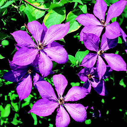 Image for Large Flowered Summer Clematis Margaret Hunt from StoreName