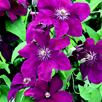 Large Flowered Summer Clematis Rouge Cardinal