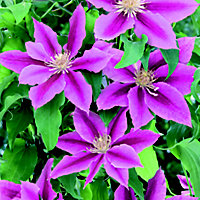 Large Flowered Summer Clematis Dr Ruppel