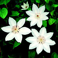 Large Flowered Summer Clematis Henryi