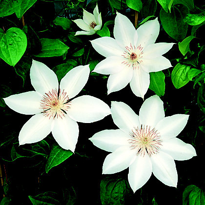 Image for Large Flowered Summer Clematis Henryi from StoreName