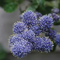 California Lilac Yankee Point