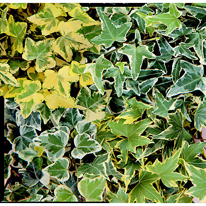 Image for Ivy - 11cm from StoreName