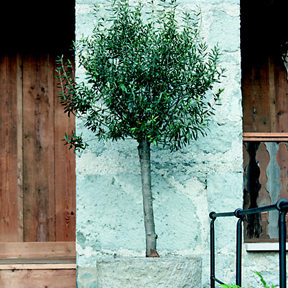 Image for Mini Olive Tree Standard from StoreName