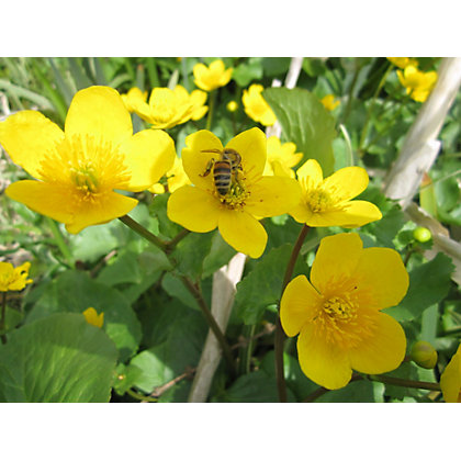Image for Large Marsh Marigold from StoreName