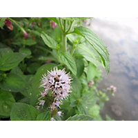 Large Water Mint