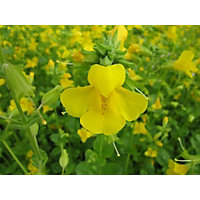 Small Common Monkey Flower