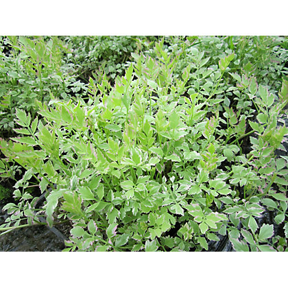 Image for Medium Variegated Water Dropwort from StoreName