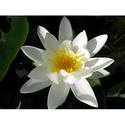 Image for Large Water Lily Alba from StoreName