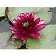 Large Water Lily Almost Black