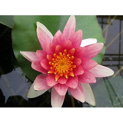 Image for Large Water Lily Comanche from StoreName