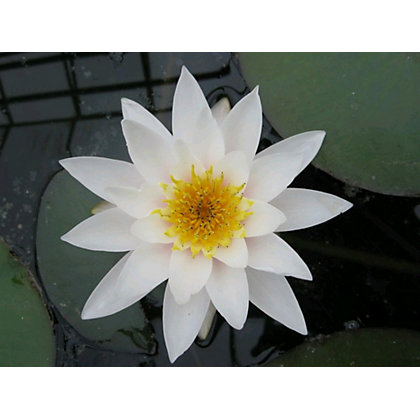 Image for Large Water Lily Gladstoniana from StoreName