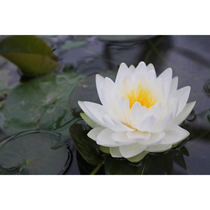Image for Large Water Lily Gonnere from StoreName