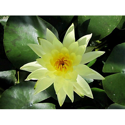 Image for Medium Water Lily Joey Tomocik from StoreName
