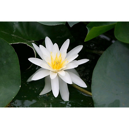 Image for Medium Water Lily Marliacea Albida from StoreName
