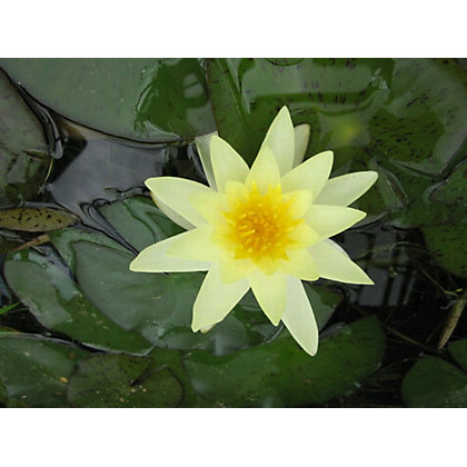 Image for Large Water Lily Moorei from StoreName
