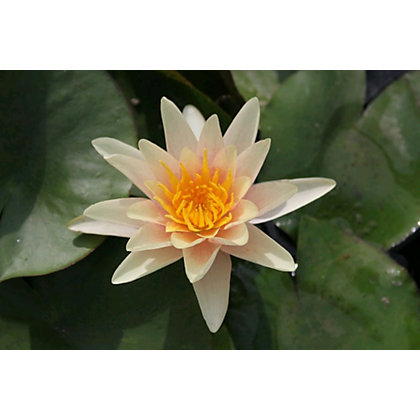 Image for Large Water Lily Paul Hariot from StoreName