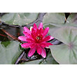 Large Water Lily Red Paradise