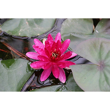Image for Large Water Lily Red Paradise from StoreName