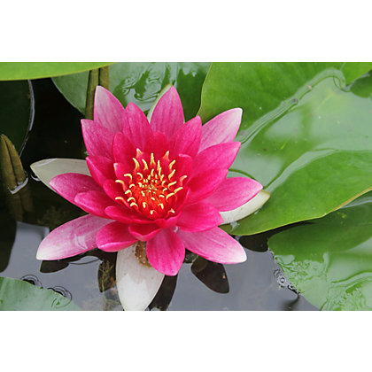 Image for Large Water Lily Rene Gerard from StoreName