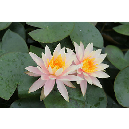Image for Large Water Lily Rosennymphe from StoreName