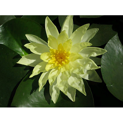 Image for Large Water Lily Sunrise from StoreName