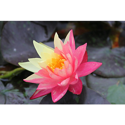 Image for Large Water Lily Wanvisa from StoreName