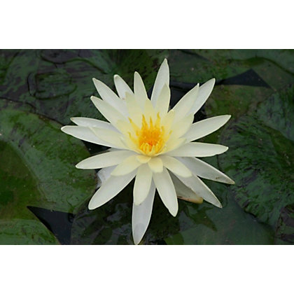 Image for Large Water Lily Yellow Queen from StoreName