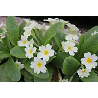 Small Primula Vulgaris
