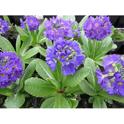 Image for Small Primula denticulata from StoreName