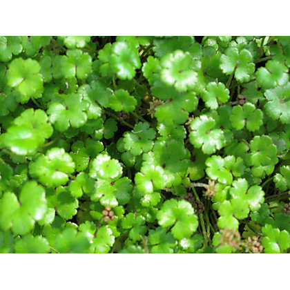 Image for Miniature Pennywort from StoreName