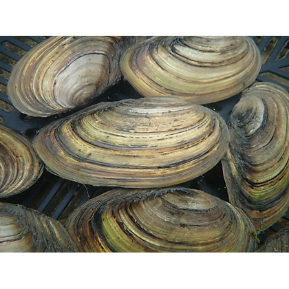 Image for Swan Mussels from StoreName