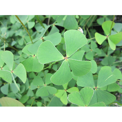 Image for Medium Water Shamrock from StoreName