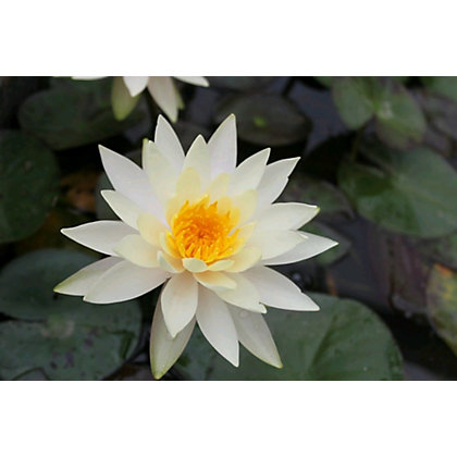 Image for Large Water Lily Inner Light from StoreName