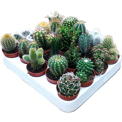 Image For Mini Cactus Mixed From Storename